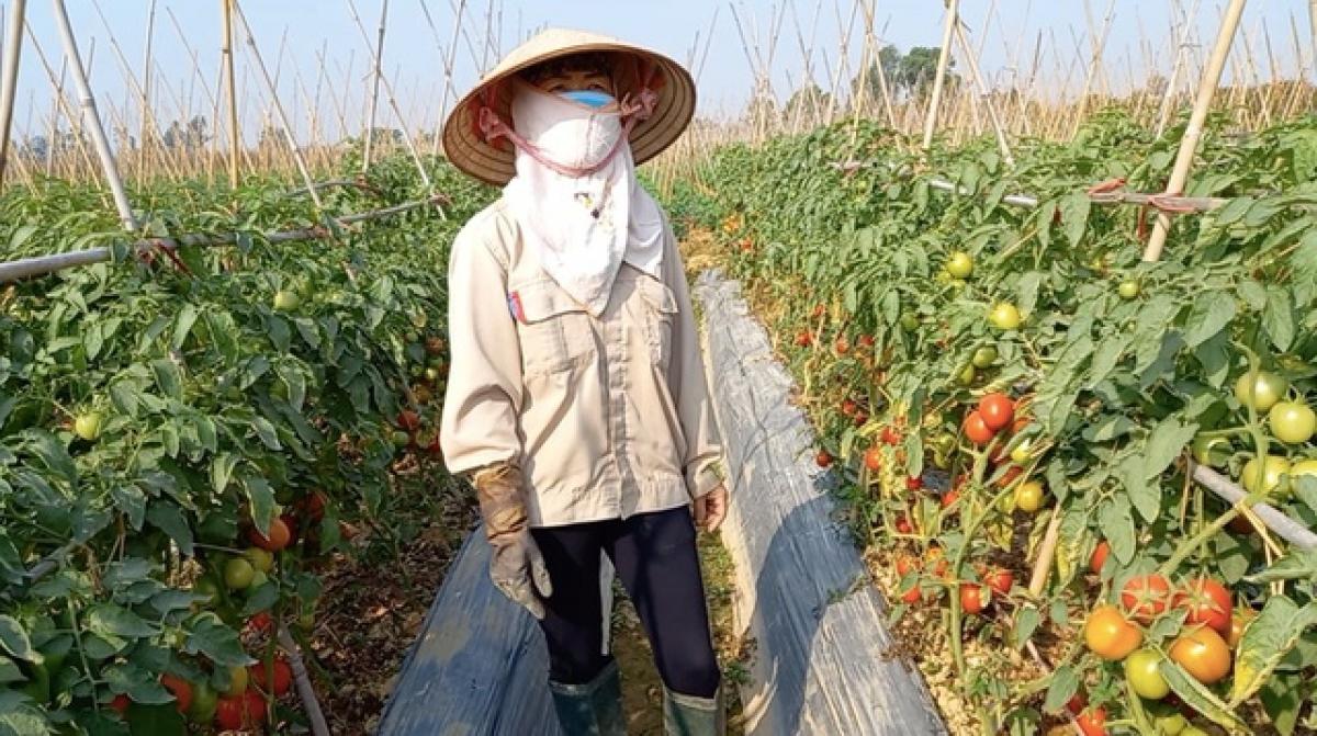 Trên địa bàn tỉnh Hải Dương còn 4.087 ha rau vụ đông đang đến kỳ thu hoạch với sản lượng khoảng 90.767 tấn (Ảnh: KT)