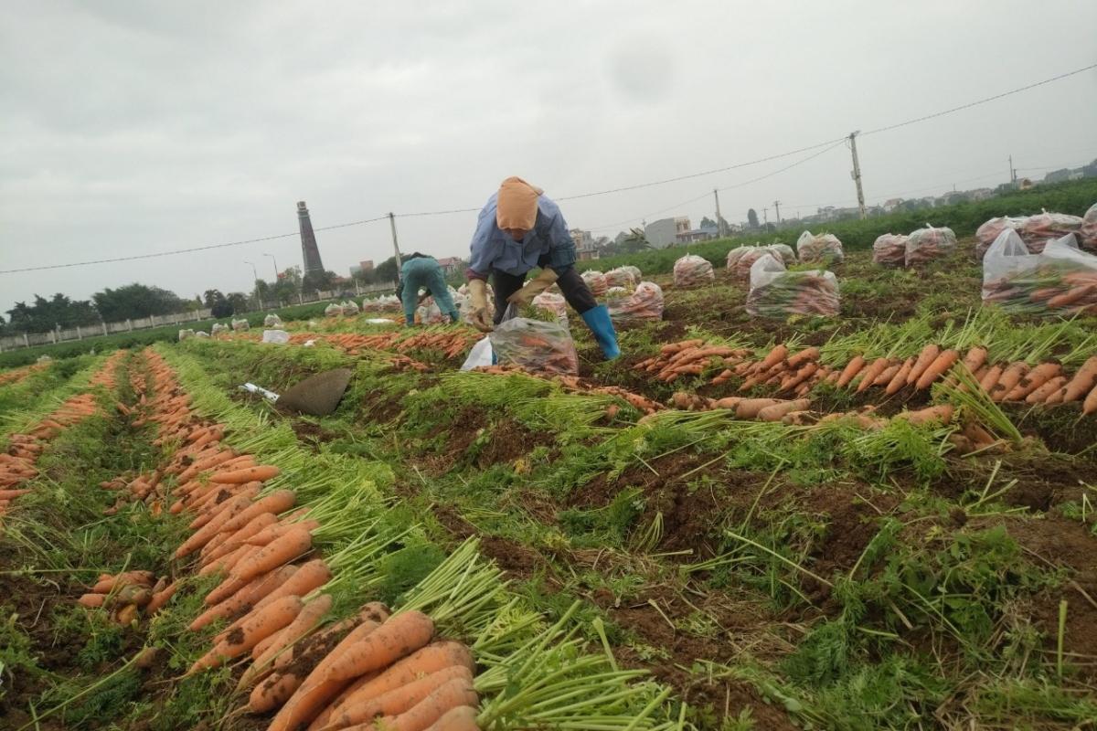 Hàng chục nghìn tấn cà rốt của tỉnh Hải Dương đang đến kỳ thu hoạch để phục vụ xuất khẩu cần được lưu thông (Ảnh: Dân Việt).