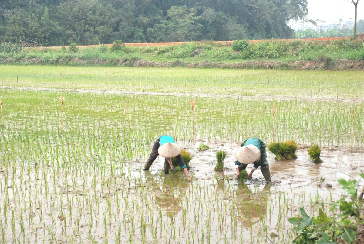 Nhiều nông dân tranh thủ xuống đồng gieo cấy lúa vụ Đông Xuân.