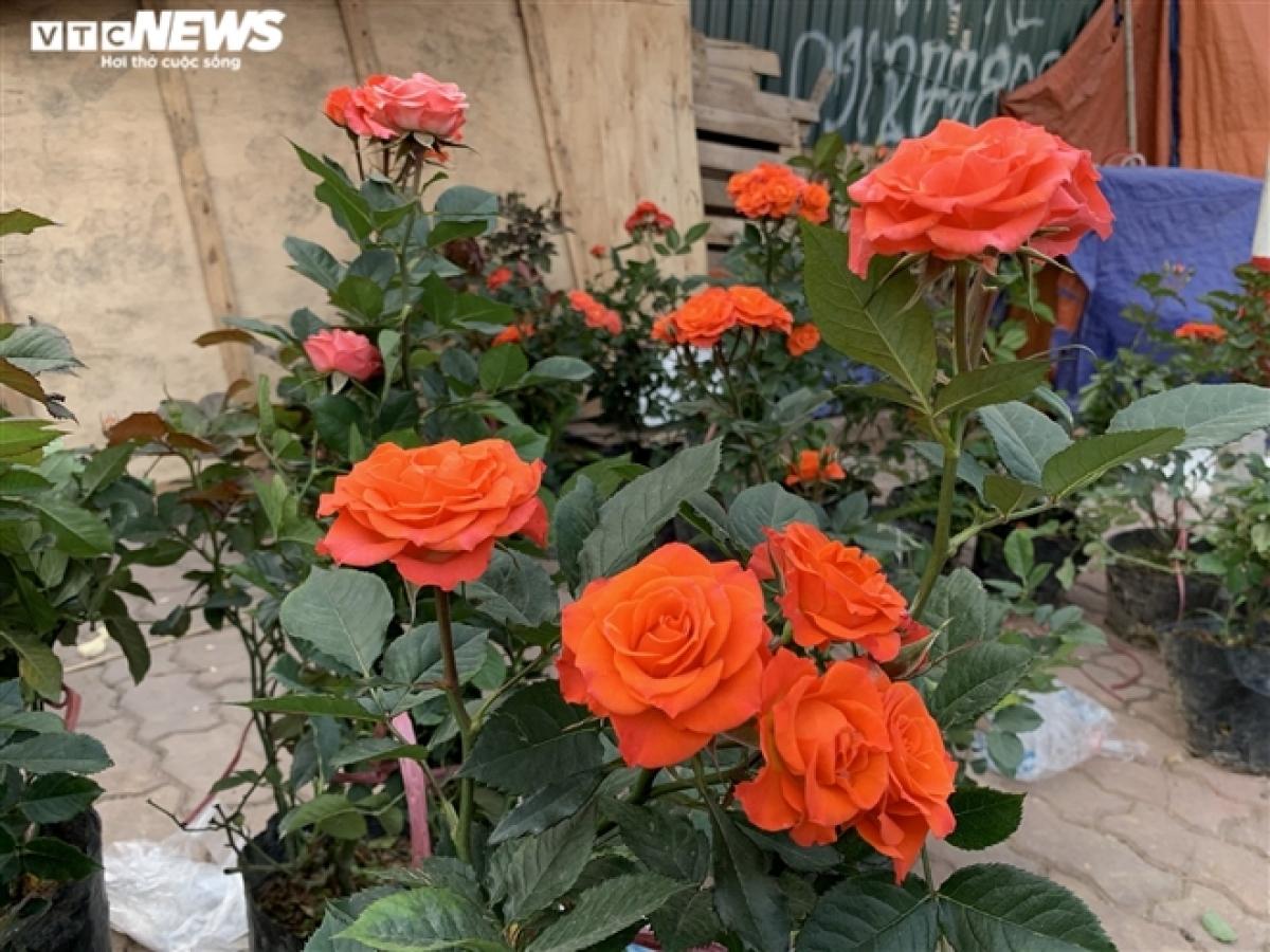 Hoa hồng có giá 4.000 đồng/cành, hoa đồng tiền có giá 6.000 đồng/bông. Mức giá này được cho là rẻ gần một nửa so với dịp rằm tháng Giêng năm ngoái.