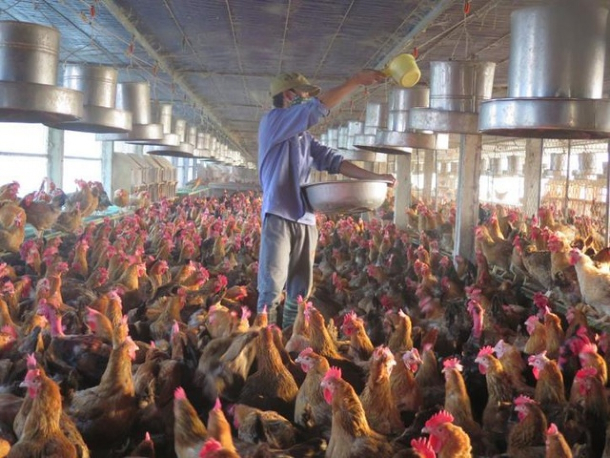 Trang trại gà bố mẹ đẻ trứng để đem ấp nở bán giống hiện có 38.000 con gà, mỗi ngày anh đang chịu lỗ khoảng 30 triệu đồng (ảnh: TTXVN)