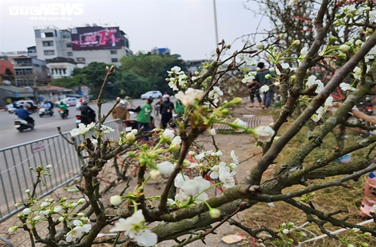 Recent years has seen residents of the capital purchase pure white pear flowers to decorate their homes with after Tet, as opposed to peach flowers and kumquat trees. These flowers can be found on sale along Au Co, Nghi Tam, and Lac Long Quan streets, as well as in Quang Ba flower market.