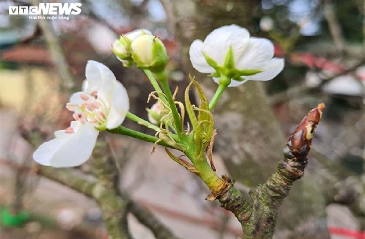 Wild pear branches come from northern provinces such as Cao Bang, Lao Cai, Ha Giang, and Lang Son ahead of Tet. Currently each branch costs between VND500,000 and VND5 million.