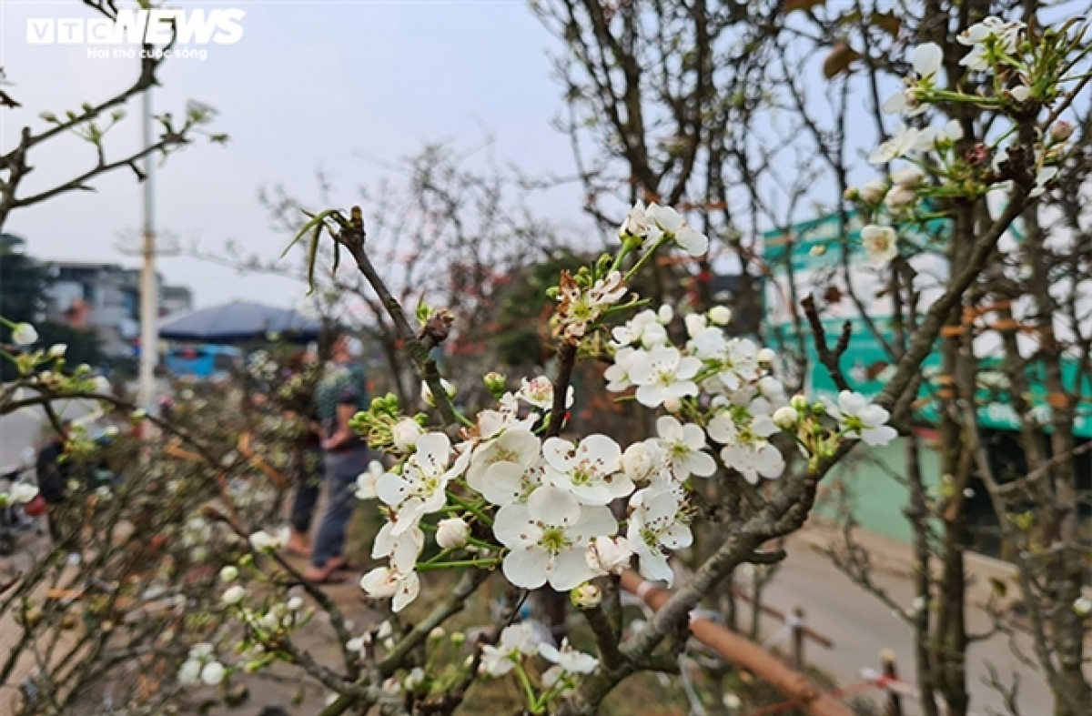 A trader says that wild pear branches will be sold until the 15th day of the first lunar month.