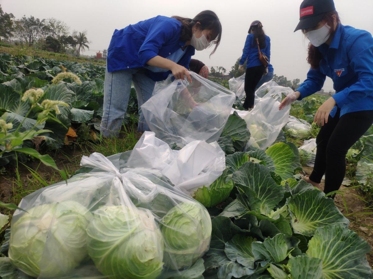 Bắp cải xã Cấp Tiến, huyện Tiên Lãng (Hải Phòng) đến kỳ thu hoạch cần