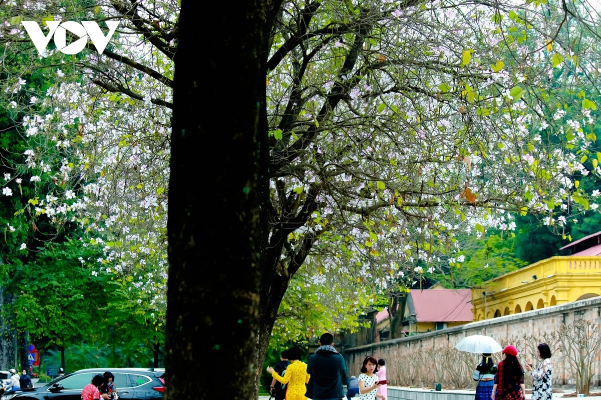 Local people can easily spot the flowers blossoming on trees on Bac Son, Hoang Dieu, Yen Phu, and Hoang Dao Thuy streets, in addition to on the banks of Ho Guom, also known as Sword Lake.