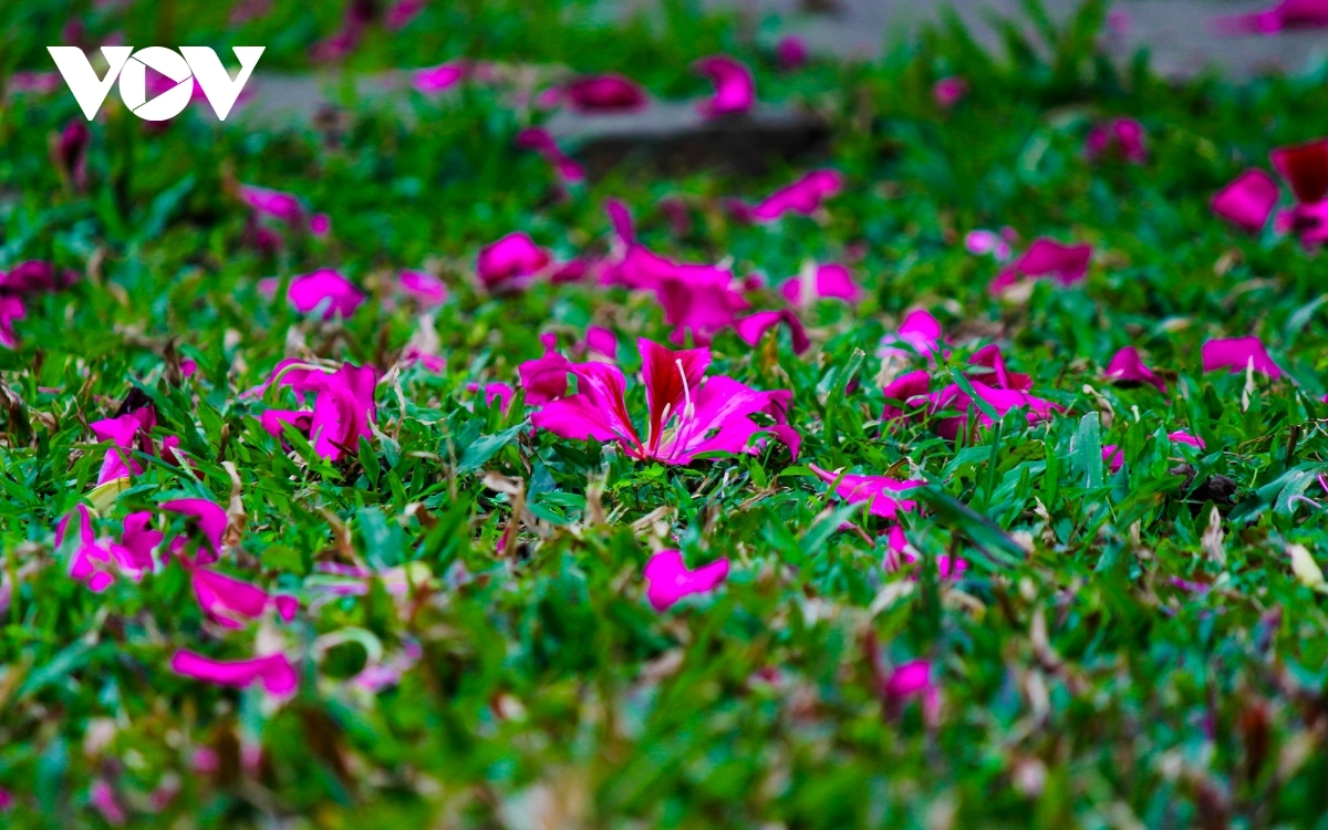 Each flower contains four or five petals featuring bright pink veins.
