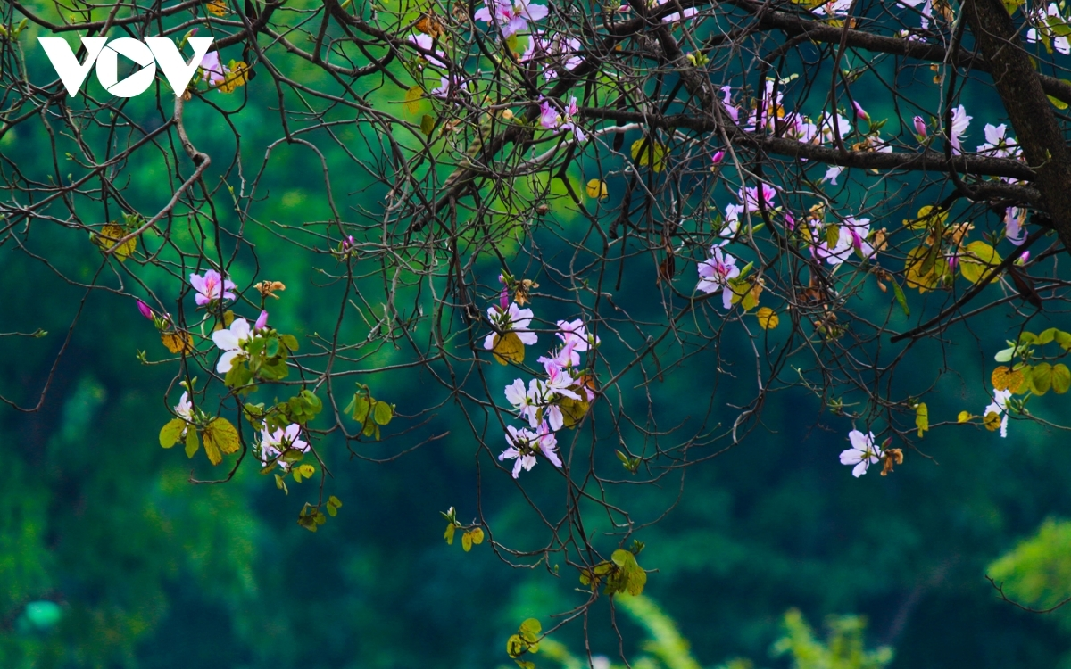 The flowers serve to beautify the streets of the capital with its soft pink and purple hues.