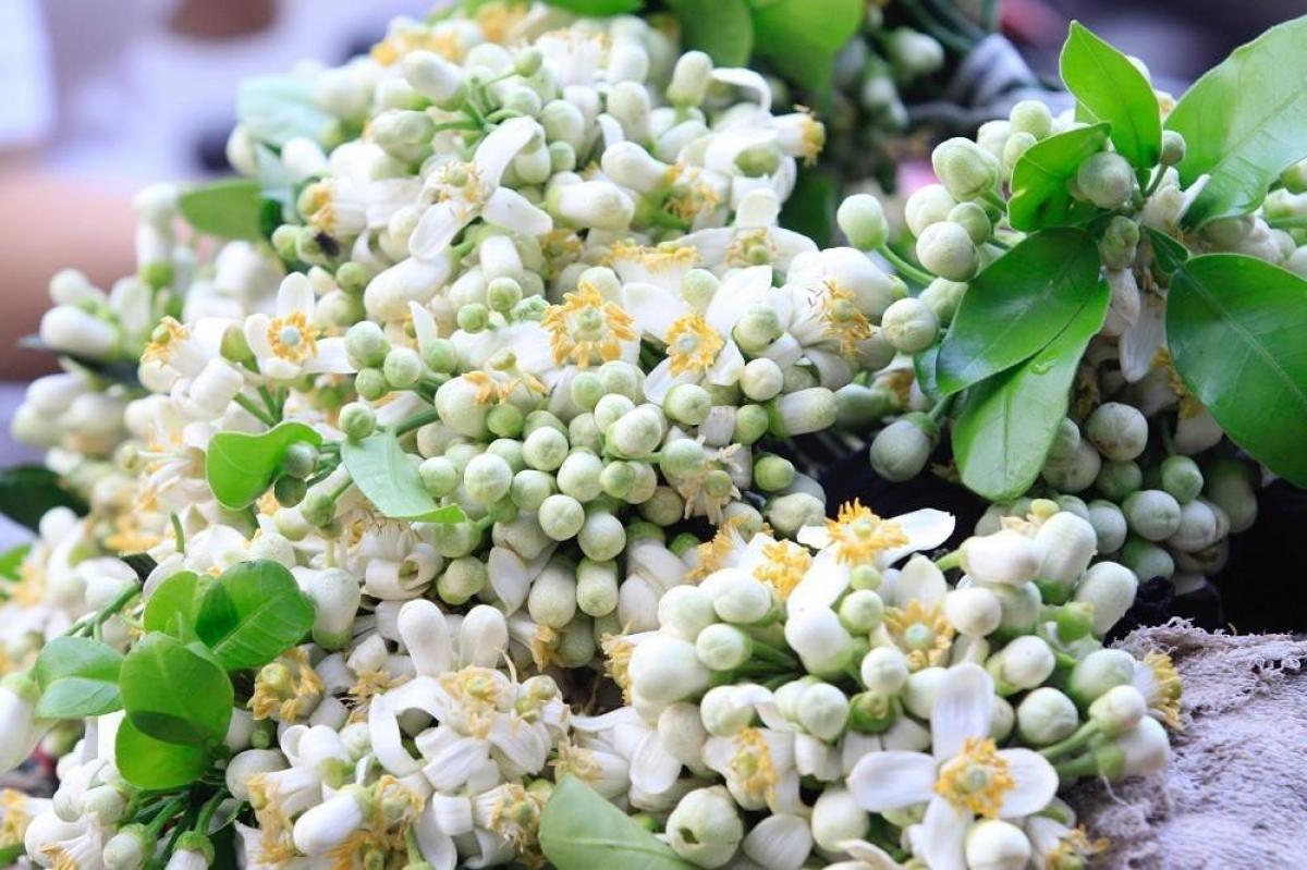 Hoa bưởi được bán nhiều tại các chợ dân sinh, trên nhiều tuyến phố ở Hà Nội.