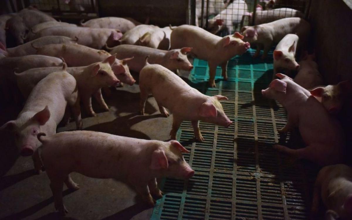 Nhiều nhà đầu tư Trung Quốc quan tâm tới cổ phiếu của doanh nghiệp thịt lợn. (Ảnh minh họa: Bloomberg)