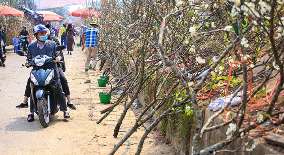 Wild pear branches are now one of the most popular items among customers in Hanoi following the Lunar New Year, known locally as Tet.