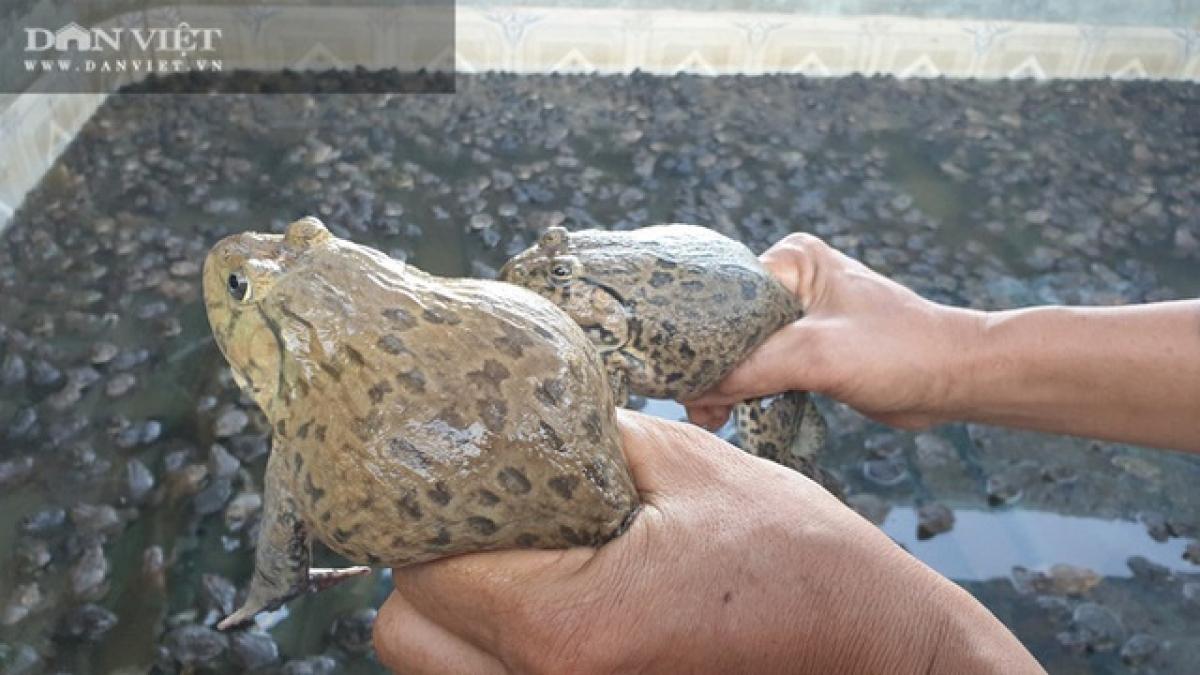 Dưới bàn tay chăm sóc của ông, đàn ếch đẻ sòn sòn ra tiền cho gia đình ông Tài.