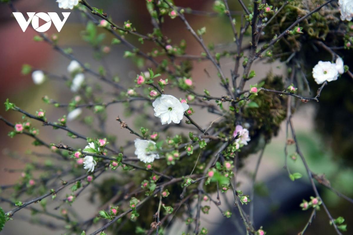 """Trải qua những ngày Đông lạnh giá, mai vẫn kiên cường sinh trưởng và trổ hoa rạng ngời khi mùa xuân đến tựa như bậc quân tử luôn giữ mình thanh cao, vì thế được người xưa tôn là """"cây quân tử""""."""