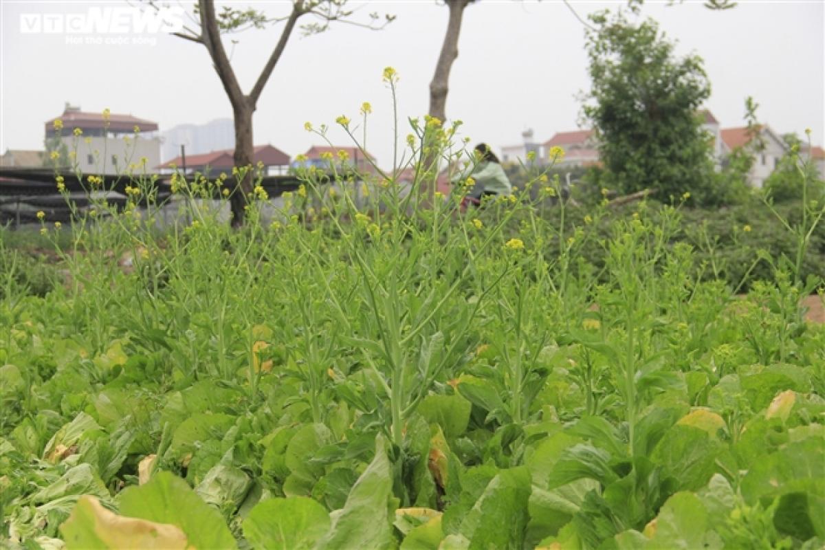 Những luống rau cải không ai mua, hoa mọc dài. Người dân phải cắt bỏ ngay tại ruộng để làm phân bón.