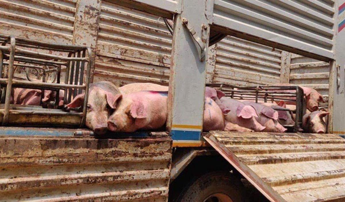 Vận chuyển lợn tại Campuchia.
