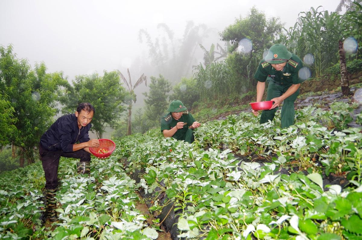 Từ công tác tuyên truyền, vận động của cán bộ, chiến sĩ Biên phòng Lai Châu nhiều mô hình trồng các cây giống mới đã bén rễ trên biên cương và bước đầu mang lại hiệu quả