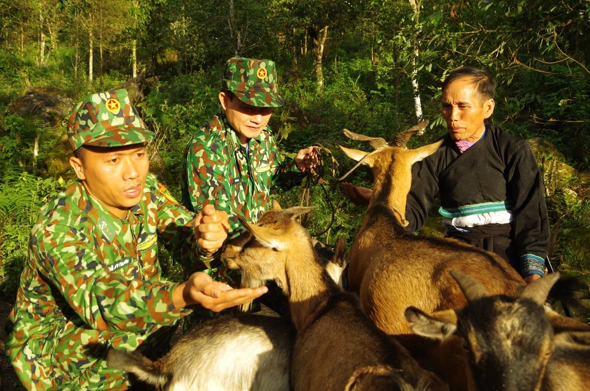 Mô hình nuôi dê thương phẩm, với sự giúp sức của bộ đội biên phòng đã và đang mang lại nguồn lợi kinh tế đáng kể cho người dân vùng biên giới Phong Thổ