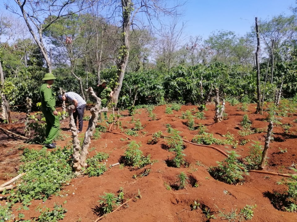 Công an huyện Ea H'leo tiến hành nhổ bỏ toàn bộ 1.500 cần sa do Tài và Quỳnh trồng sau đótiến hành tiêu hủy.