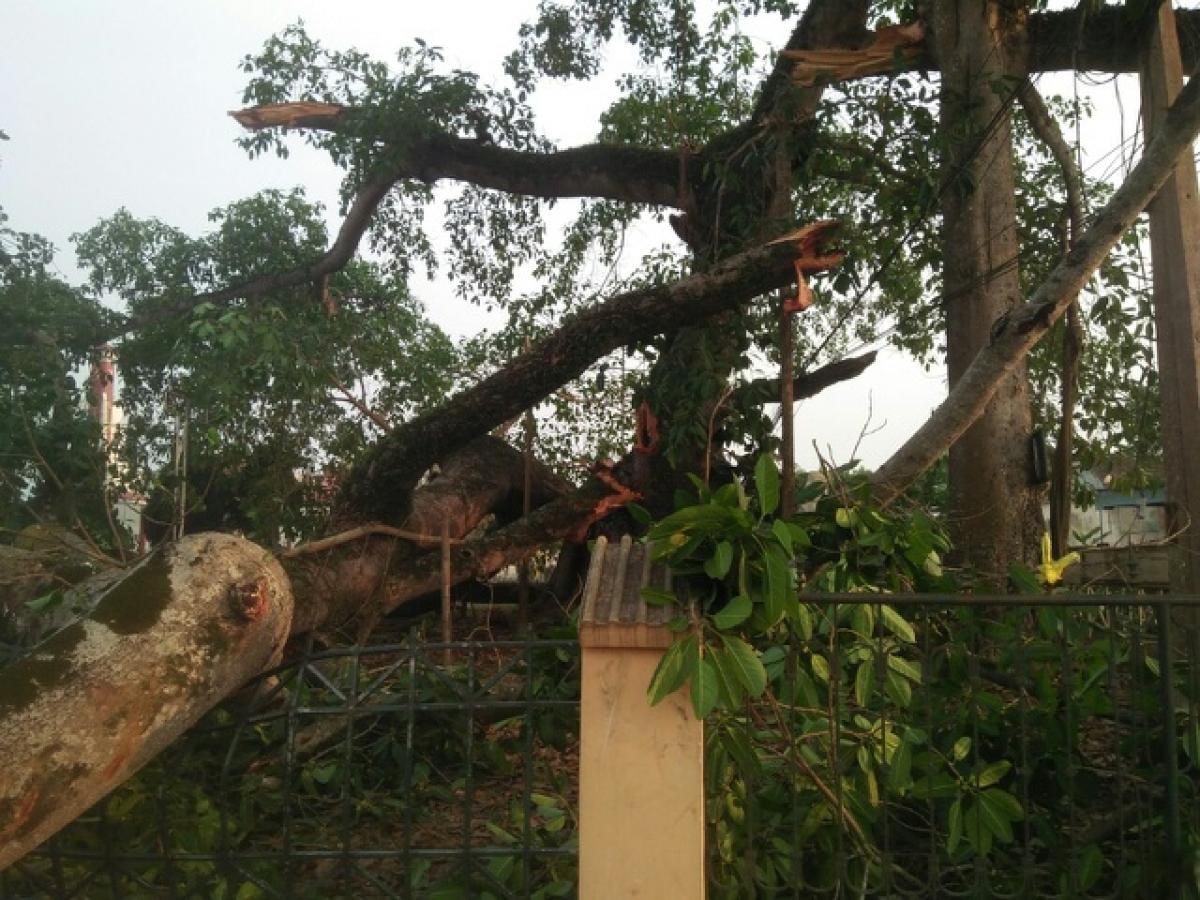 Những nhành lớn của cây đa hơn 300 năm tuổi gãy đổkhiến 4 học sinh bị thương.