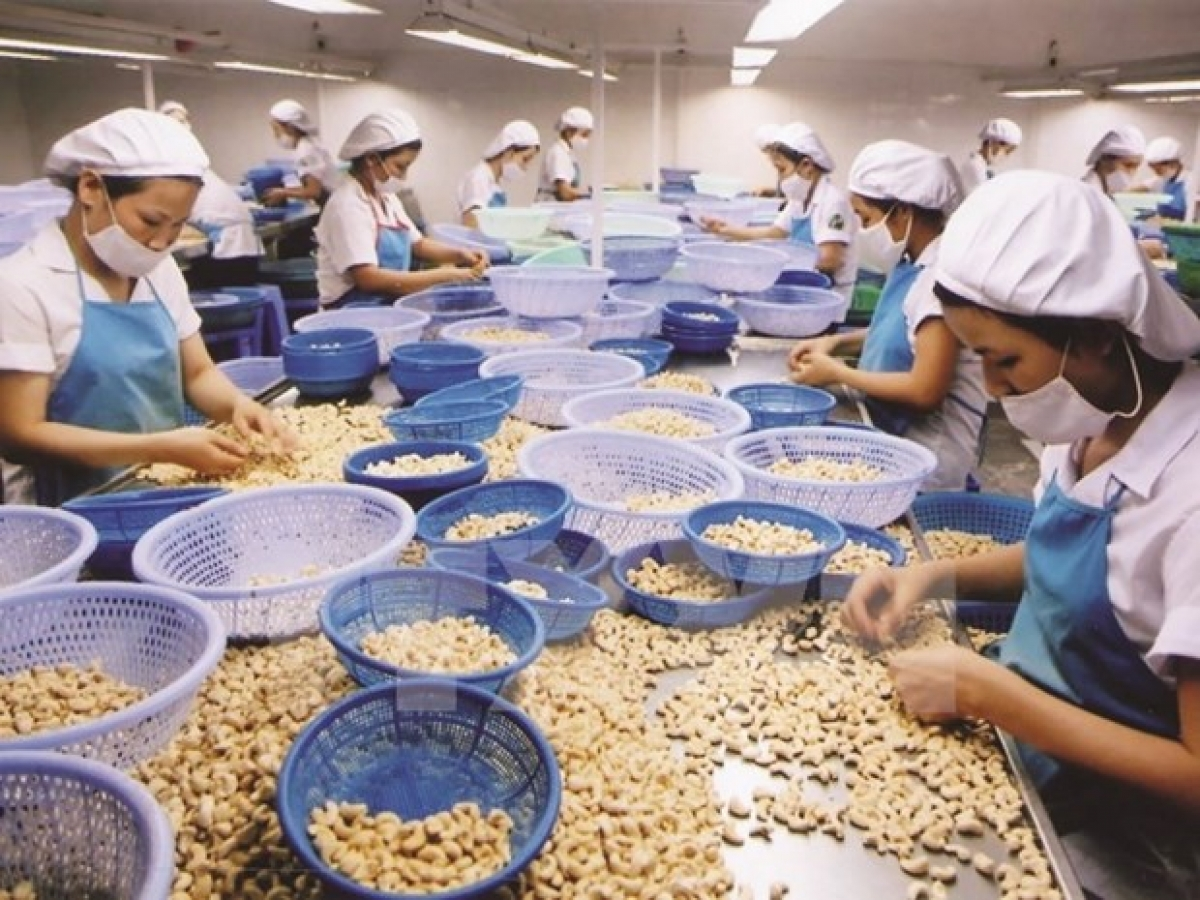 Processing cashew nuts for export (Photo: VNA)
