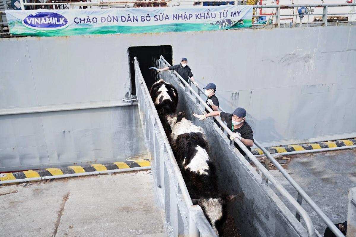Đàn bò sữa có tình trạng sức khỏe ổn định sau chuyến hành trình dài từ Mỹ về Việt Nam.
