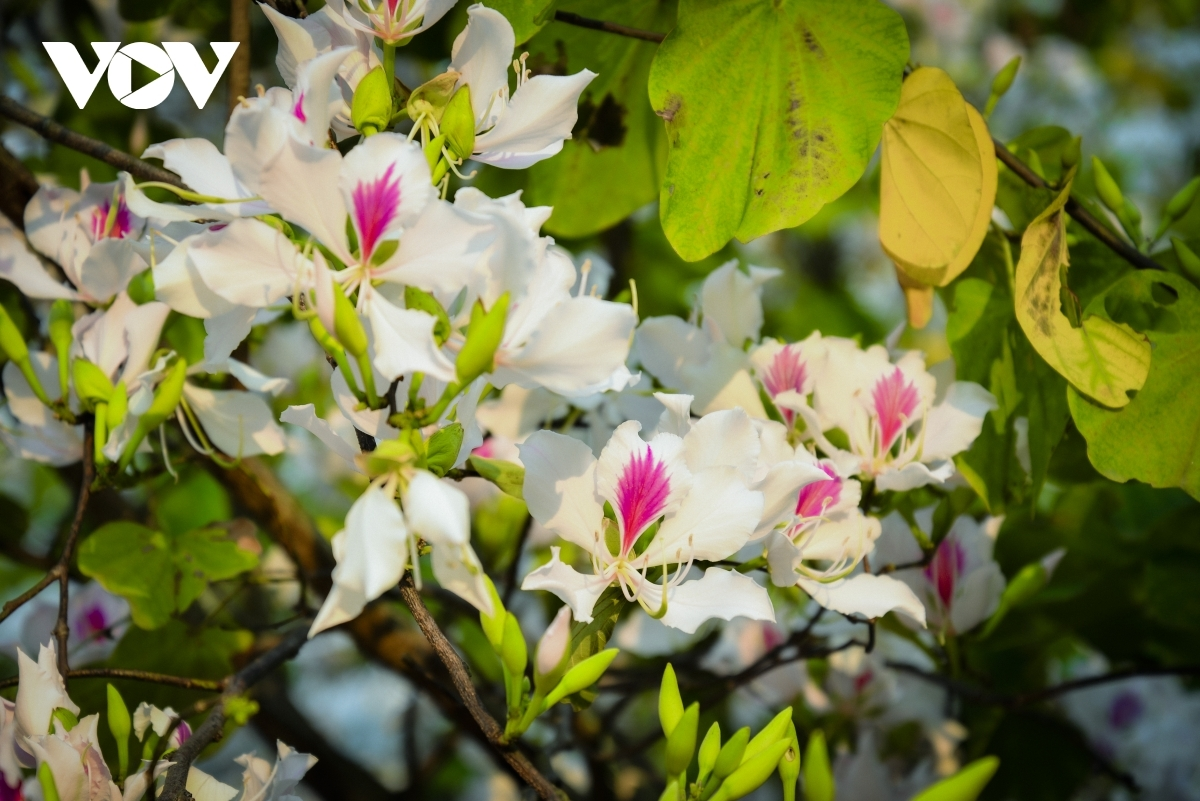 The flowers can often be seen in bloom around March and typically fill the streets of the city with their elegant white colour.