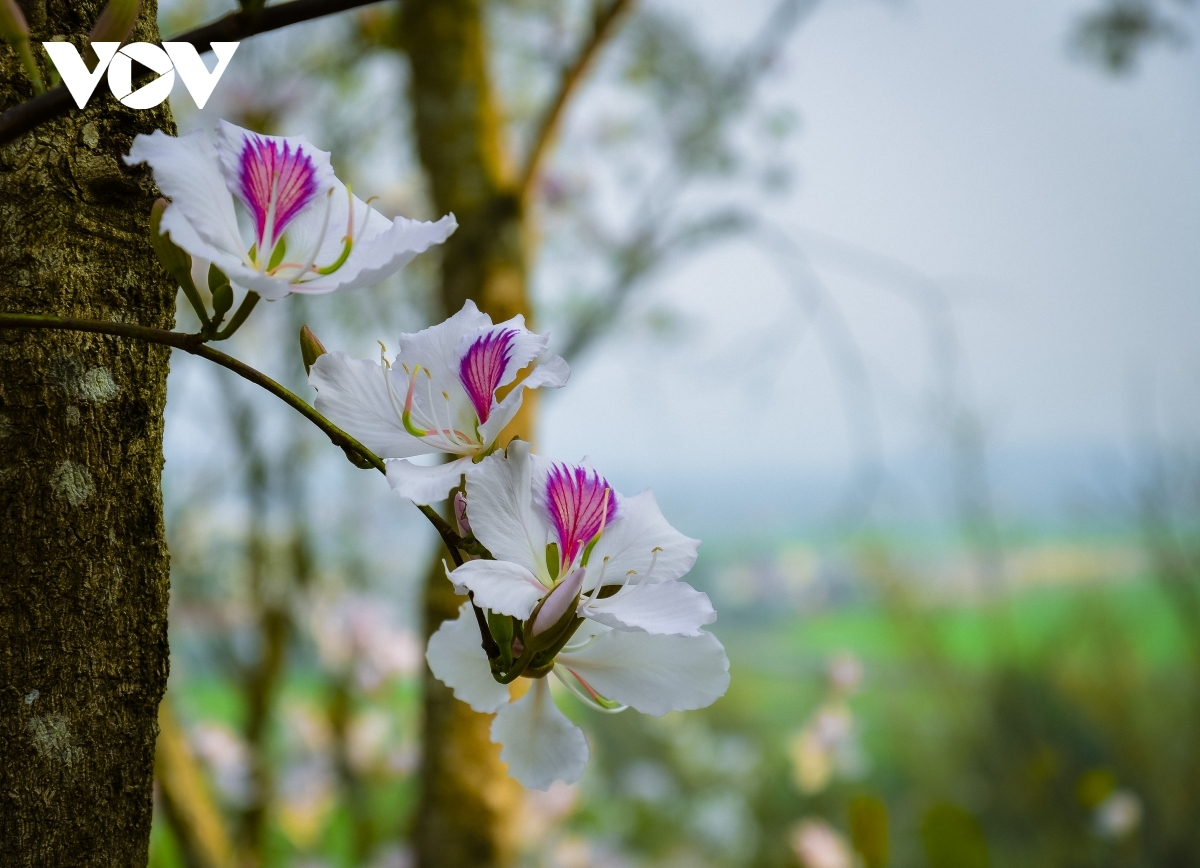 Each flower features four to five petals that are notable for their bright white veins.