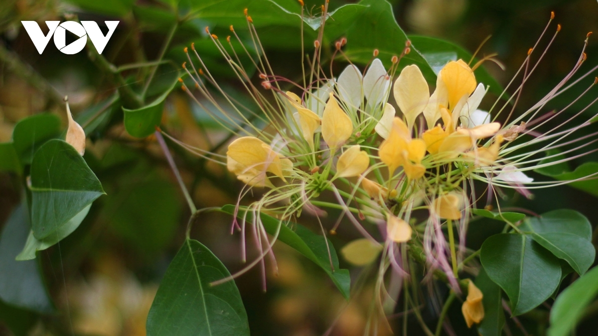 Visitors can enjoy the pleasant aroma of the flowers. Indeed, when they are in bloom, the pistils are shaped similarly to noodles.