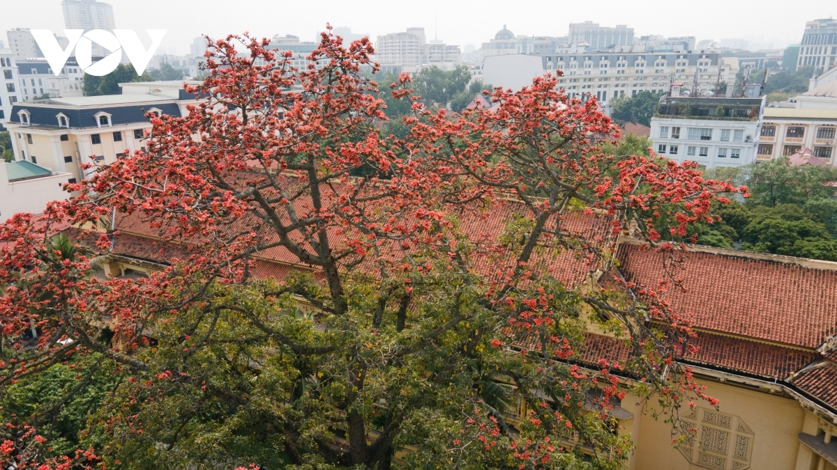 The tree originates from India, although now it can be seen growing in many cities and provinces throughout the northern region of Vietnam.