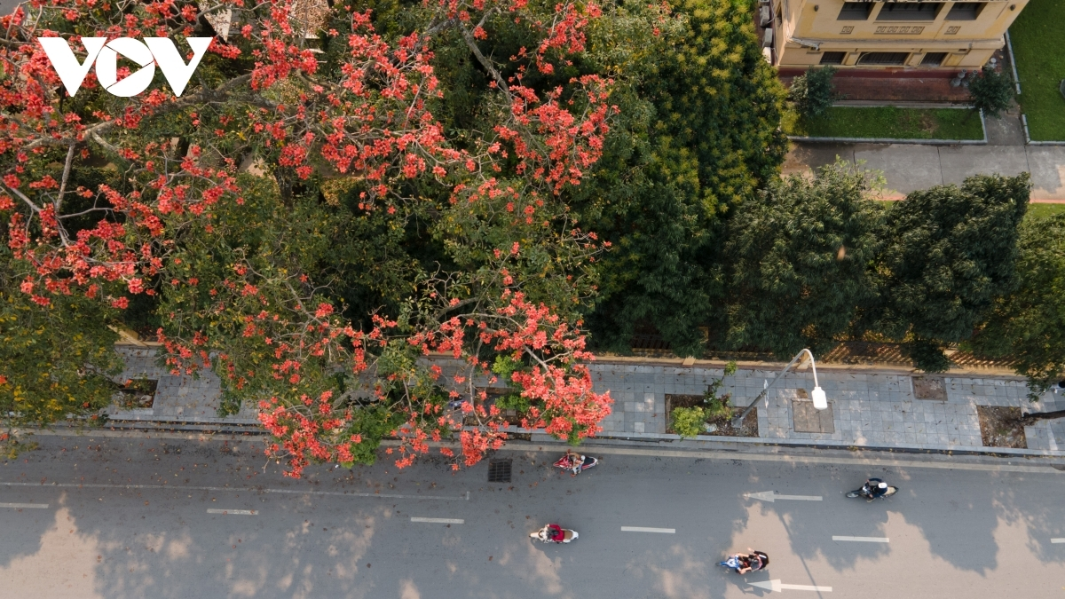 The large blossom comes out almost at once, thereby making the entire tree look like it is in flames on a street corner.
