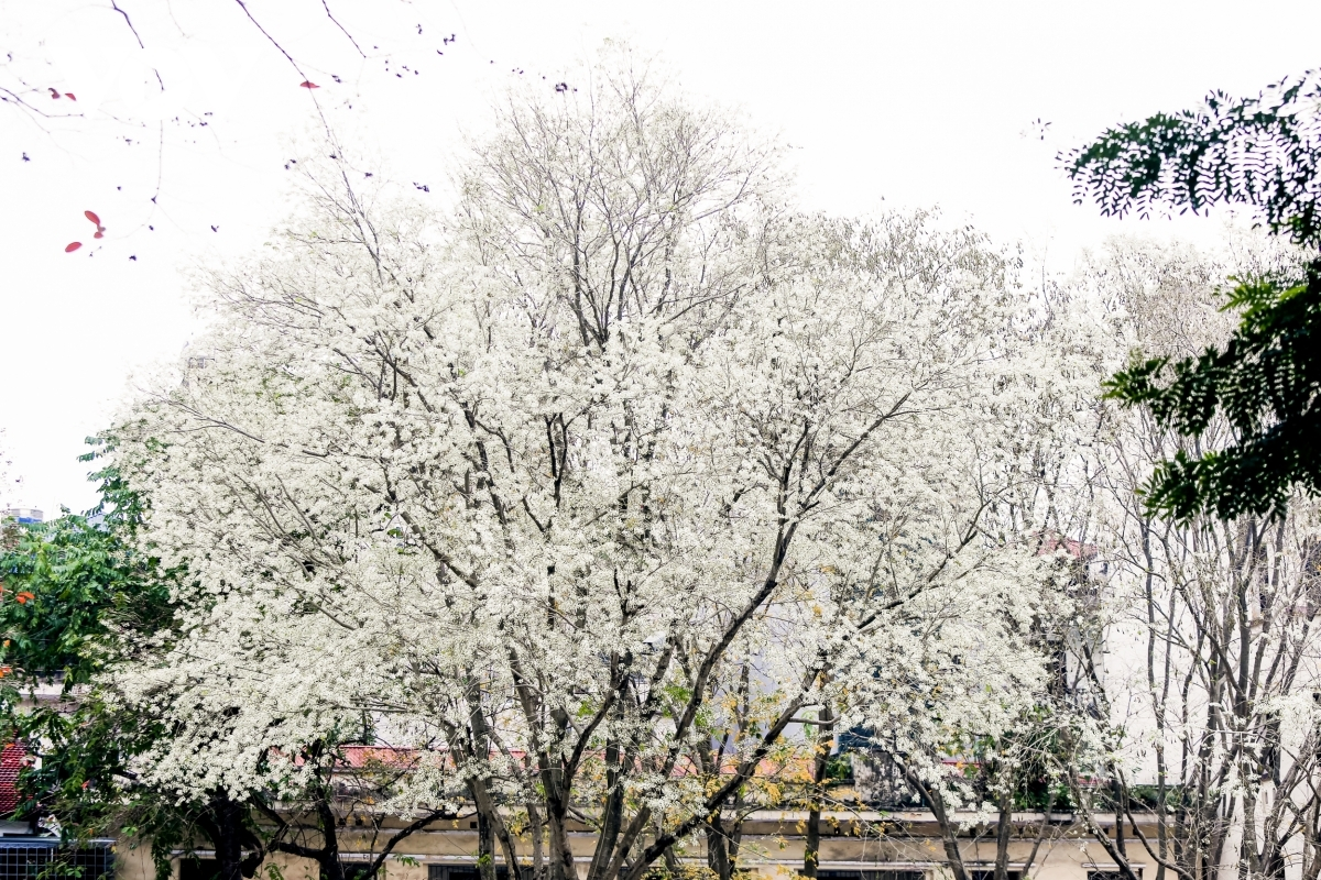 Late February usually sees the capital adorned with white blossoms, which quiver amid light breeze.