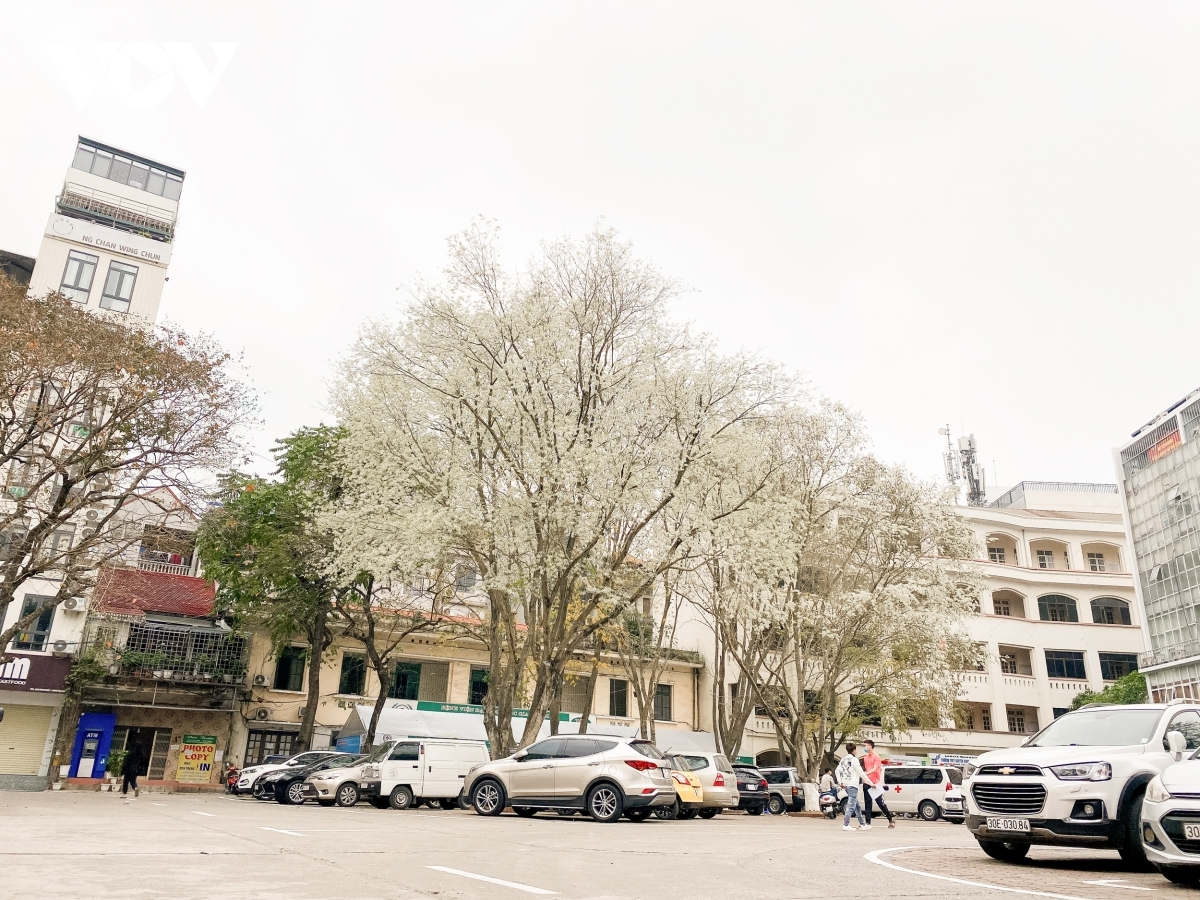 Hoa Sua flowers can be seen blossoming throughout Hanoi, bringing a pleasant atmosphere for local people.