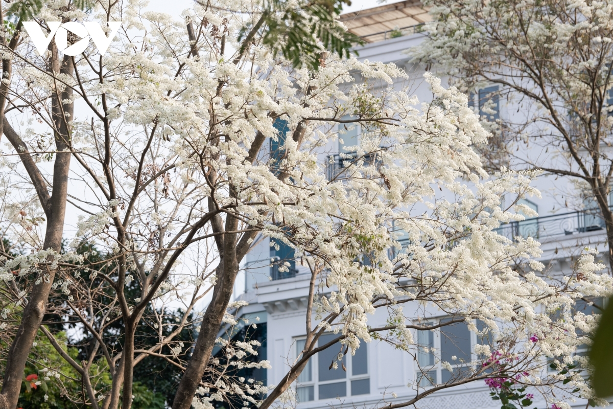 The flowers can easily be found on many streets throughout the capital, including Thanh Nien, Kim Ma, Phan Dinh Phung, Hoang Dieu, and Tran Hung Dao.