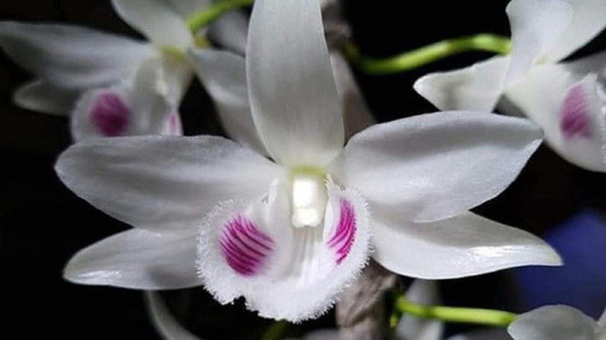 Lan đột biến gen sở hữu mặt hoa và hình dáng độc lạ, hiếm có, khác biệt hẳn với những loài khác trong quần thể.
