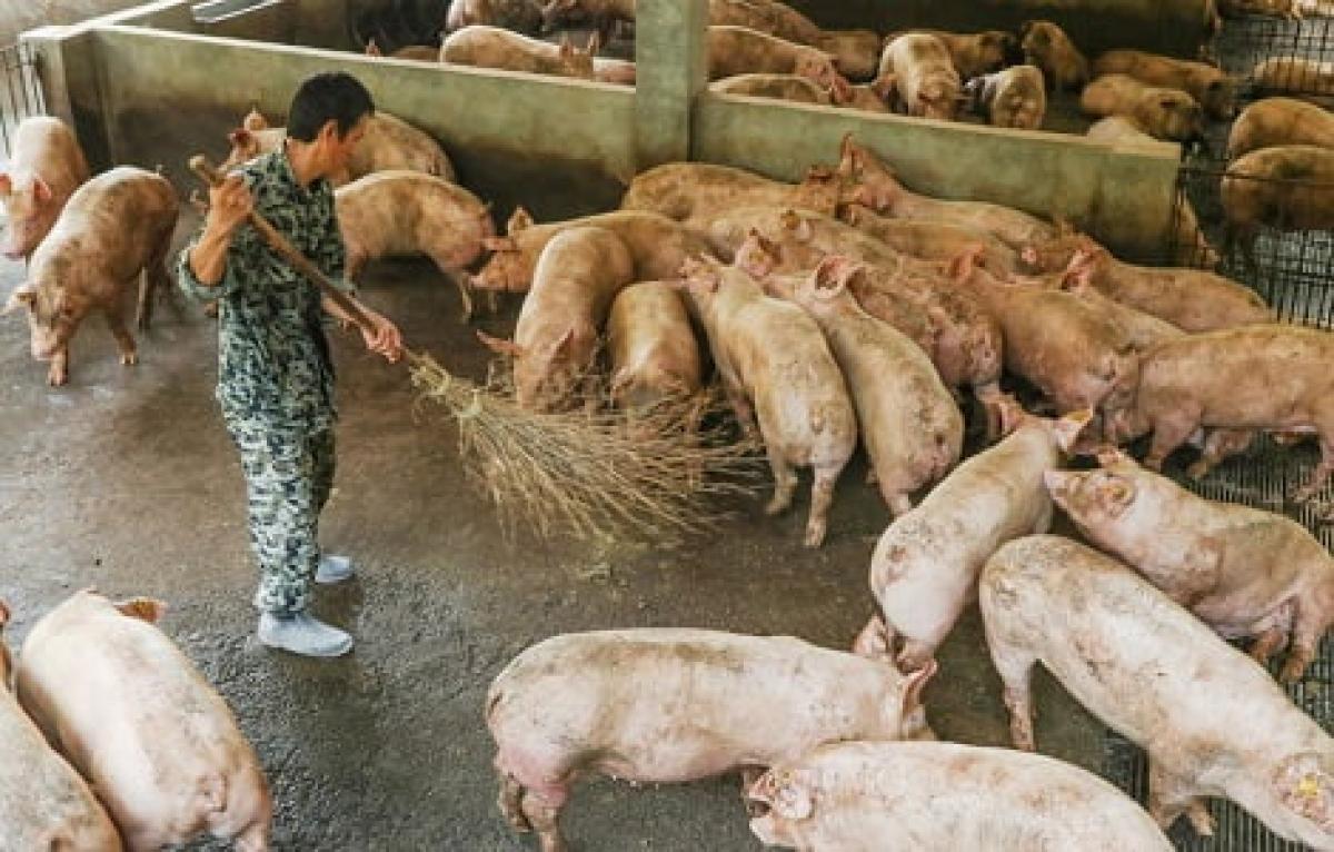 Trung Quốc dự kiến số lượng lợn hơi xuất chuồng trong nửa đầu năm 2021 sẽ tăng khoảng 65% so với cùng kỳ năm ngoái. (Ảnh minh họa: KT)
