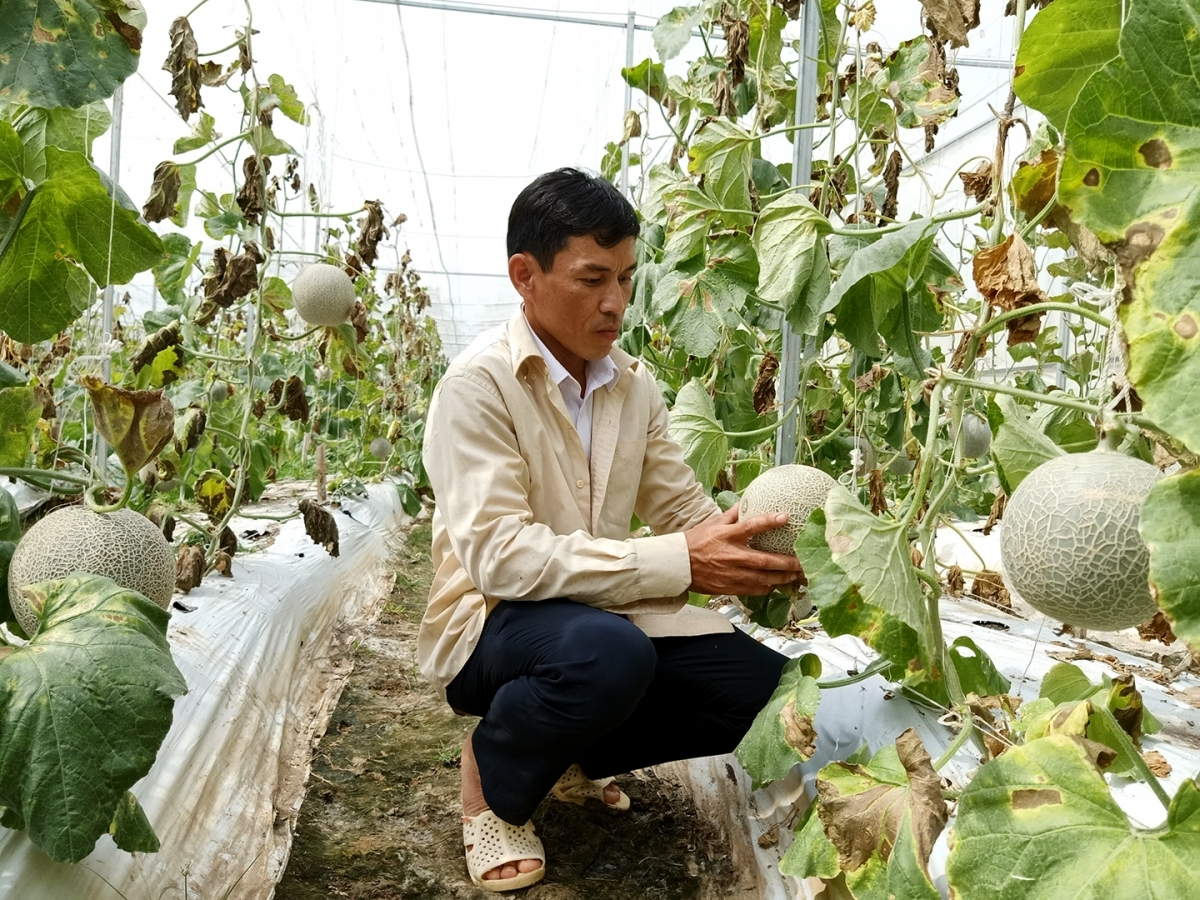 Vườn dưa lưới của nông dân Huỳnh Sa Rây đã cho cắt nước, chuẩn bị thu hoạch.