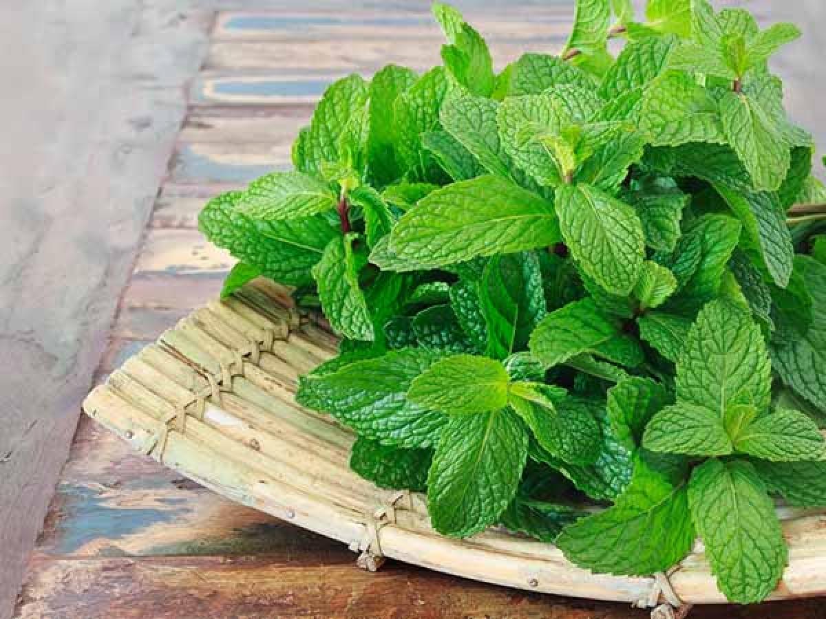 Bạc hà: Bạc hà có tính kháng khuẩn và khử mùi mạnh, giúp cơ thể và hơi thở của bạn có mùi hương thơm mát sảng khoái. Bạn cũng có thể dễ dàng sử dụng bạc hà như một gia vị cho các món ăn hằng ngày./.