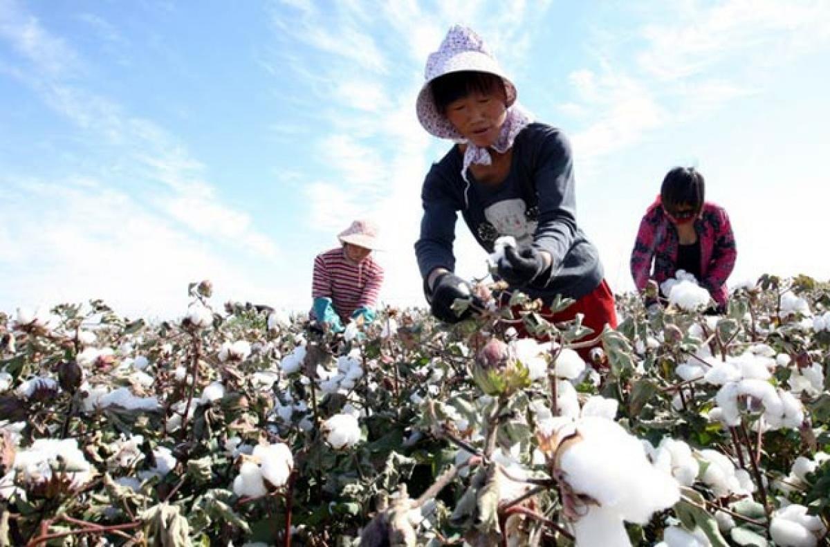 Người dân thu hoạch bông tại Tân Cương, Trung Quốc. Ảnh: Tân Hoa xã.