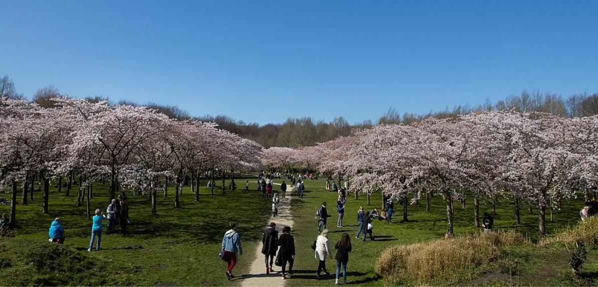 Người dân Hà Lan cũng có cơ hội để chiêm ngưỡng hoa anh đào, với những khu vườn tuyệt đẹp ở khu vực ngoại ô Amsterdam. Nguồn: AP