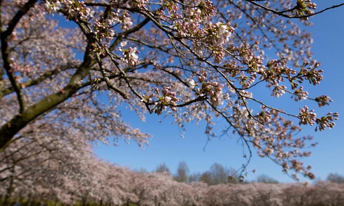 Hoa anh đào nở rộ tại công viên Cherry Blossom Park ở Amstelveen, thuộc vùng đô thị Amsterdam, Hà Lan. Nguồn: AP