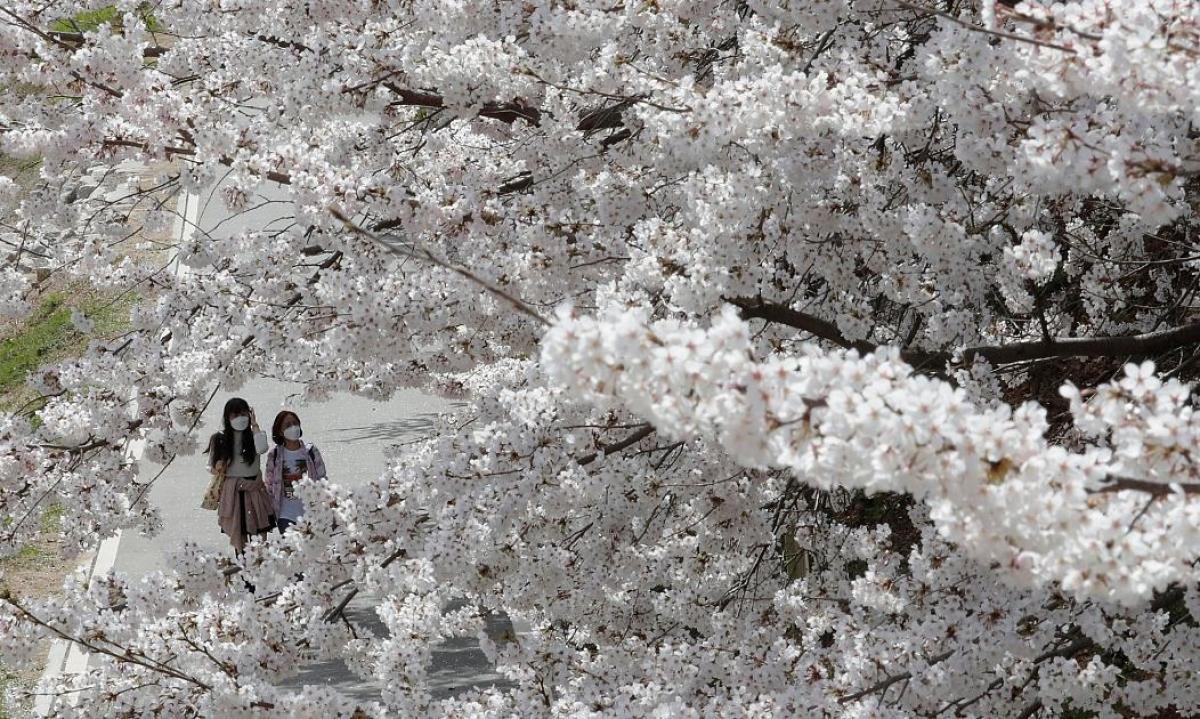 Người dân Hàn Quốc cũng rất yêu thích loài hoa này. Trong ảnh là cây hoa anh đào bung nở tại một công viên ở thủ đô Seoul. Nguồn: AP