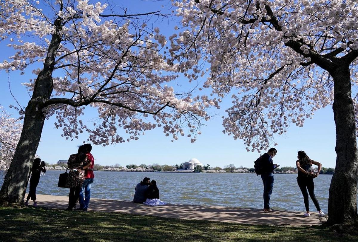 Xung quanh hồ Tidal Basin ở Washington D.C. trồng rất nhiều cây hoa anh đào Yoshino, đây là món quà mà Nhật Bản đã tặng cho Mỹ. Nguồn: AP