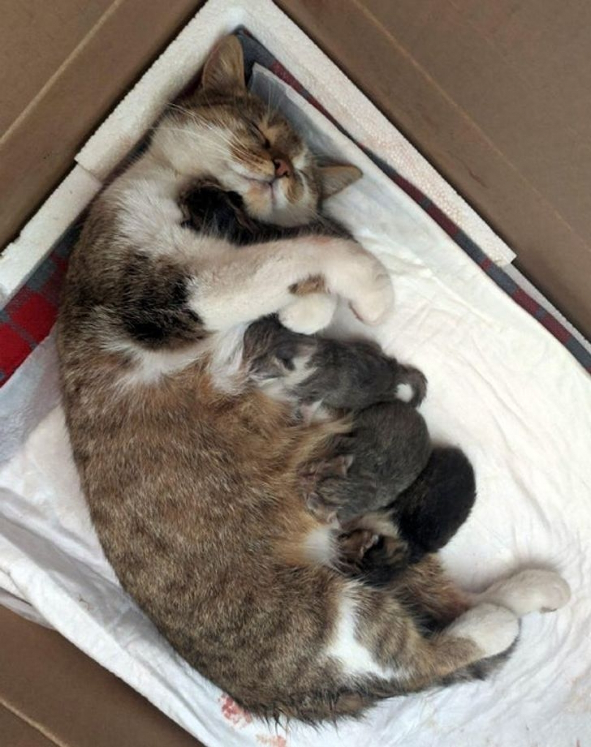 """""""Bà bầu"""" vượt cạn thành công và sinh hạ 4 chú mèo nhỏ xinh xắn."""