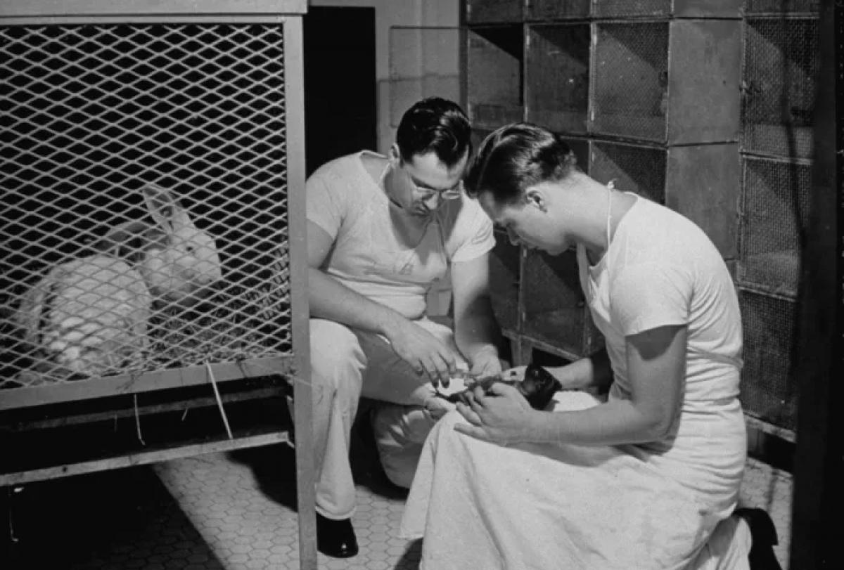 Một con chuột lang được tiêm vaccine cúm để xác định loại viêm phổi và hỗ trợ chẩn đoán các bệnh truyền nhiễm khác trên tàu USS Solace năm 1942. Ảnh: Getty Images