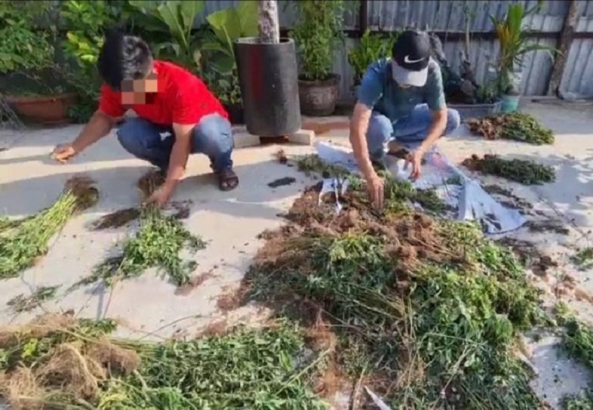 Lực lượng chức năng đang kiểm đếm số cây cần sa. (Ảnh do công an cung cấp)