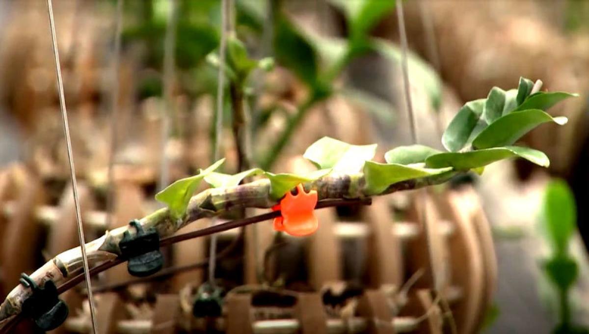 Kie lan đột biến được đem trao đổi với cặp mộc hương có tên Tuyết Đỉnh Hồng.