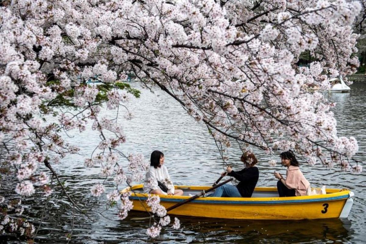 Mặc dù đại dịch Covid-19 đã hạn chế việc thưởng thức mùa hoa anh đào, tuy nhiên người dân Nhật Bản vẫn có thể ngắm hoa ở một số địa điểm.