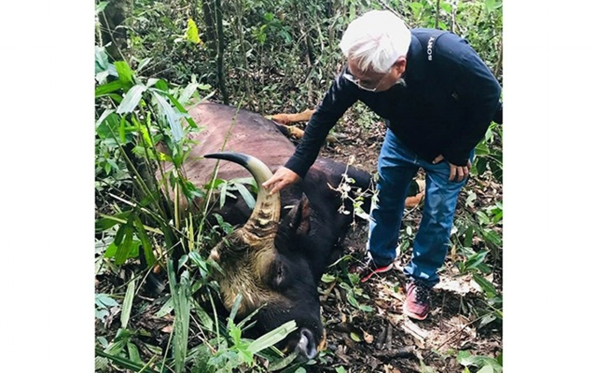 A gaur weighing 800kg has been found dead at Dong Nai Nature Reserve in 2019. (Photo: dantri.com.vn)