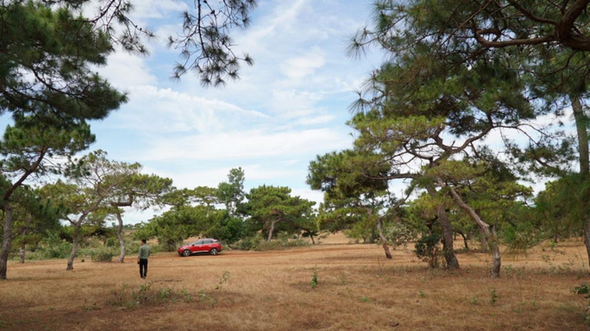 Cánh rừng thông tuyệt đẹp, nơi UBND tỉnh Gia Lai muốn triển khai làm sân golf. (Ảnh: Người lao động)