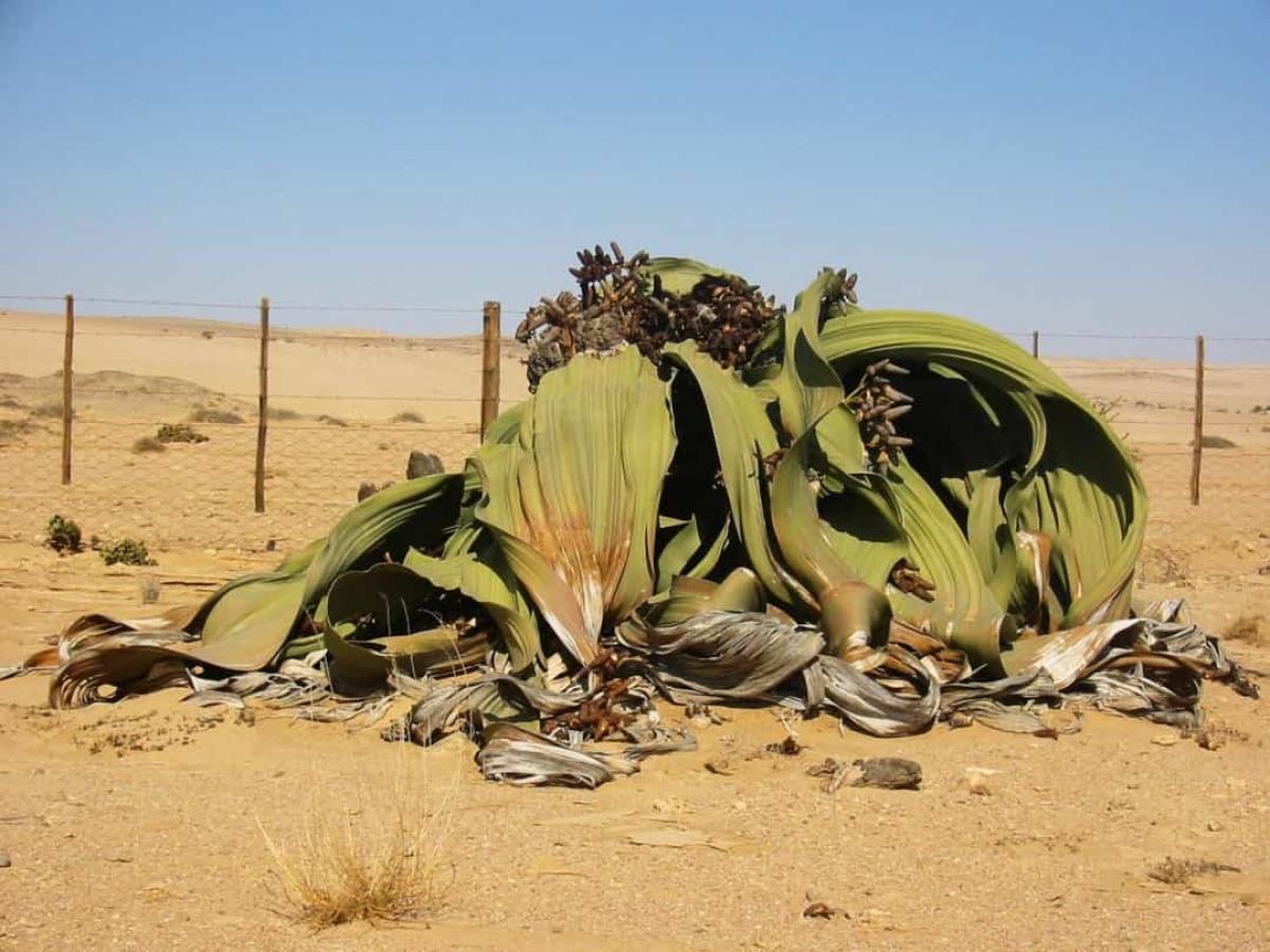 Loài thực vật kỳ lạ này có tên khoa học là Welwitschia mirabilis. Nó còn được biết đến với biệt danh bạch tuộc sa mạc do hình dạng kỳ dị của những chiếc lá. Loài thực vật này chỉ tồn tại ở sa mạc Namib ở Angola, xuất hiện từ thời kỳ khủng long và có thể sống từ 400 - 1.500 năm./.